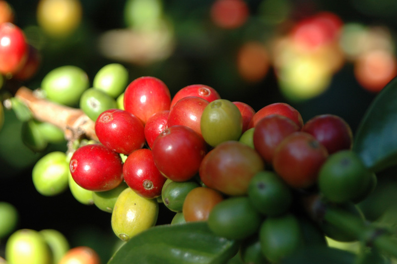 Coffee beans are not beans at all, but rather the seed of a fruit. #LiveLifeFair