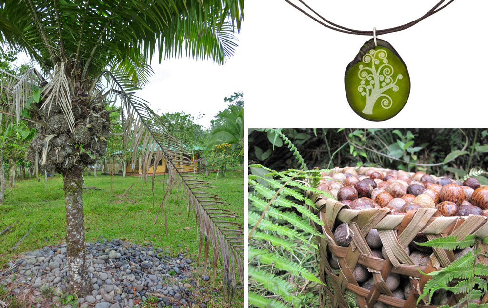 The must-have guide to Arbor Day! Taugua nut