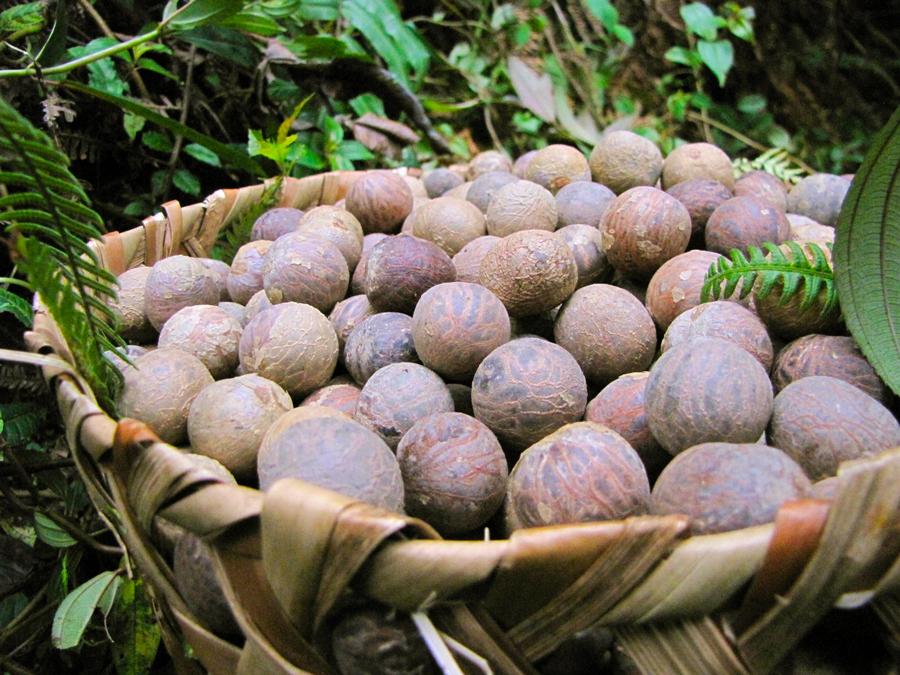 Image shows a natural fiber basket full of harvested tagua nuts. They are about the size of golf balls. Jungle plants surround the basket.