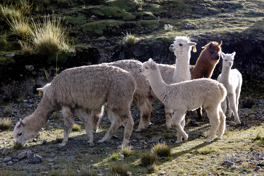 Learn all the reasons we love alpaca and you should too. | Fair Trade Alpaca Wool | Ten Thousand Villages | #LiveLifeFair